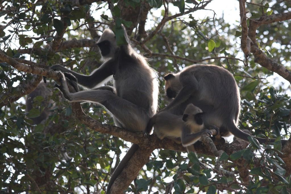 Affen trifft man im Sinharaja Forest Reserve überall an
