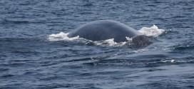 Blauwal an der Küste von Sri Lanka
