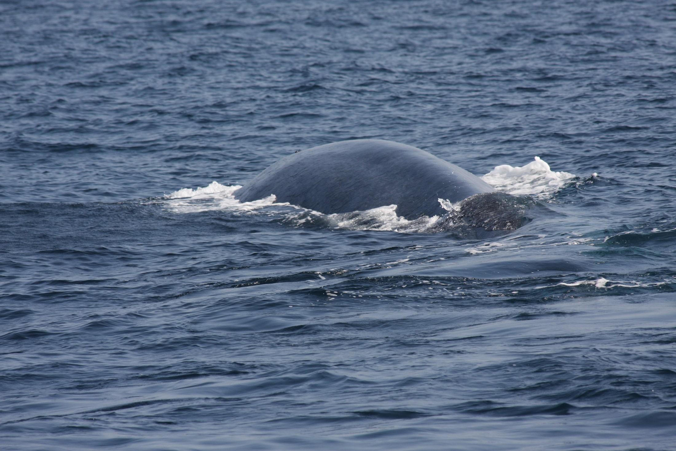 Beschreibung des Blauwals | Reisetipps für Sri Lanka