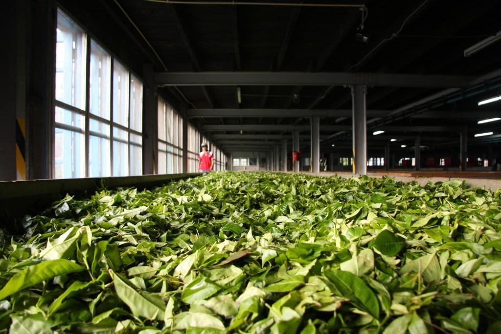 Teeplantage in der Nähe von Ella