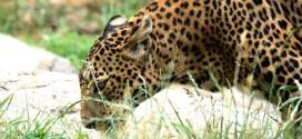Ein begehrtes Fotomotiv in den Nationalparks von Sri Lanka – der Leopard