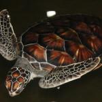 Typischer Bewohner der Küsten von Sri Lanka: Meeresschildkröte