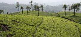 Teeplantagen soweit das Auge reicht im Gebiet um Ella