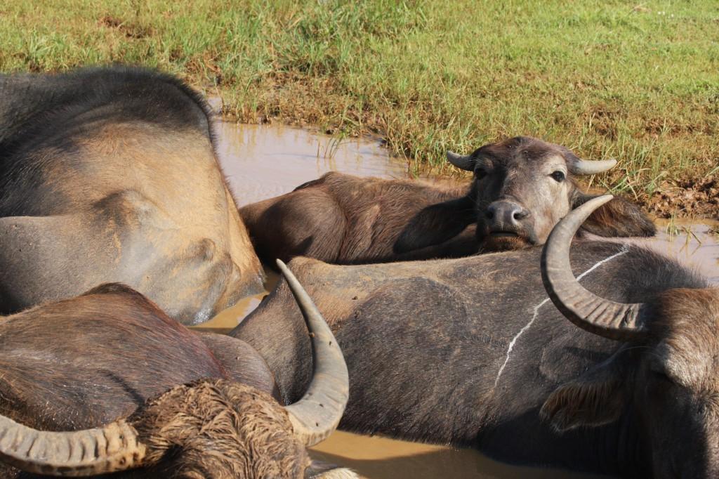 Wasserbüffel im Uda Walawe Nationalpark von Sri Lanka