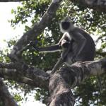 Auch Affen dürfen in den Nationalparks von Sri Lanka nicht fehlen....