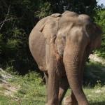 Gal-Oya Nationalpark - hier sieht man Elefanten in größeren Herden