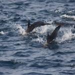 Möglicher ständiger Begleiter auf der Bootstour – Delfine