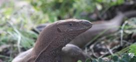 Kein ungewohntes Bild: Leguan im Sinharaja Forest Reserve
