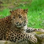 Jüngerer Leopard in einem Nationalpark von Sri Lanka