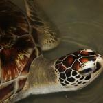 Schildkröte in der Nähe von Mirissa