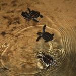 Junge Schildkröten in einer Aufzuchtstation in Sri Lanka